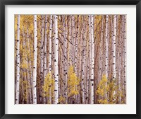 Framed Aspen Grove, Colorado