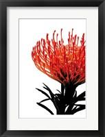 Framed Orange Protea 1