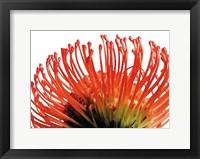 Framed Orange Protea 2