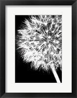 Framed Dandelion Crop