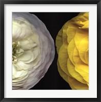 Ranunculus Right Framed Print