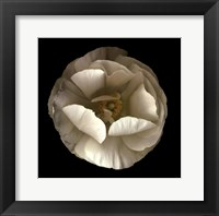 Framed Folded Ranunculus