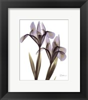 Framed Blue Floral X-ray Iris