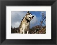 Framed Alaskan Malamute Dog