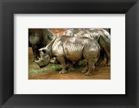 Framed Black Rhinoceros in Africa