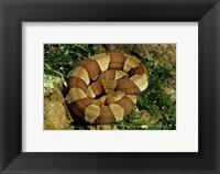 Framed Broad Banded Copperhead Coiled Snake