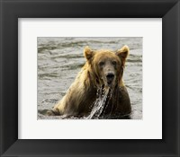 Framed Brown Bear Fishing