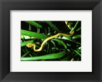 Framed Brown Tree Snake