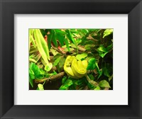 Framed Green Tree Python Snake