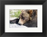 Framed Grizzly Bear Lying with His Head Down