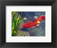 Framed Red Goldfish
