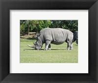 Framed Rhino Grazing