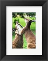 Framed Playful Kangaroos