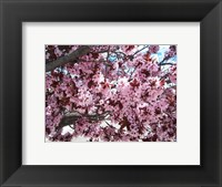 Framed Pink Cherry Blossoms