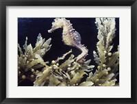 Framed Sea Horse photo