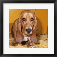 Framed Close-up of a Basset Hound