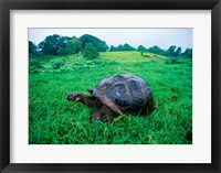 Framed Galapagos Giant Tortoise in a field