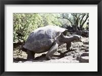 Framed Galapagos Giant Tortoise Galapagos Islands Ecuador