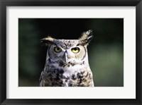 Framed Great Horned Owl Zoomed In