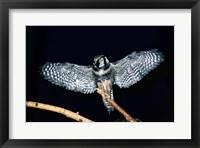 Framed Hawk Owl spreading its wings