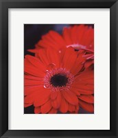 Framed Red Gerbera Daisies II