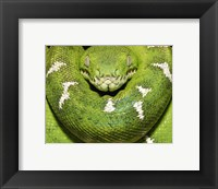 Framed Green Boa Snake
