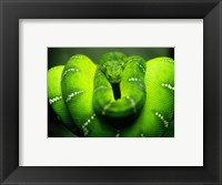 Framed Green Emerald Tree Python Snake
