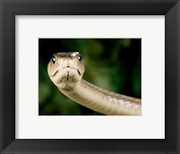 Framed Black Mamba Snake