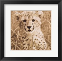 Young Cheetah Framed Print