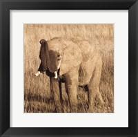 Framed Young Elephant