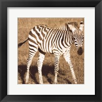 Young Zebra Framed Print