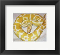 Framed Albino Ball Python