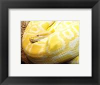 Framed Albino Burmese Python