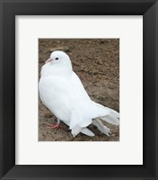 Framed Animal Farm  Dove