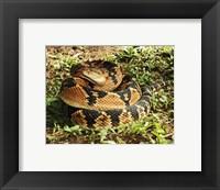 Framed Bushmaster Snake