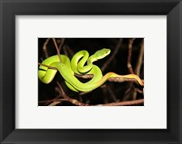 Framed Eyelash Viper