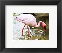 Framed Flamingo in River