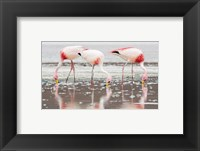 Framed Flamingos Searching for Food