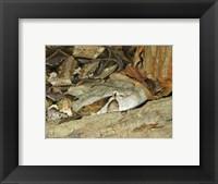 Framed Gaboon Viper