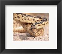 Framed Gohper Snake