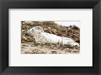Framed Harbor Seal Pup