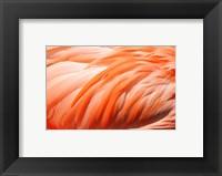 Framed Flamingo Feathers Closeup
