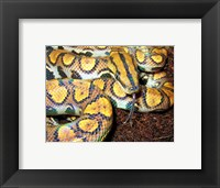 Framed Rainbow Boa