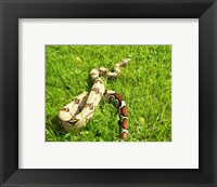 Framed Red Tail Boa Constrictor