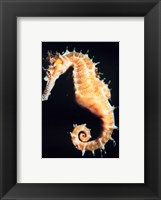 Framed Seahorse In Color