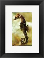 Framed Tan Seahorse