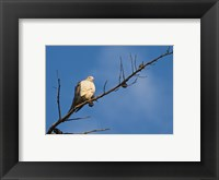 Framed Dove Above