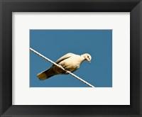 Framed Early Evening Eurasian Collared Dove