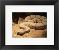 Framed Viper photograph