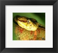 Framed Yellow Eyelash Viper up close